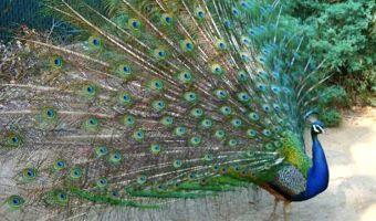 Peacock struts at Arcadia Arboretum